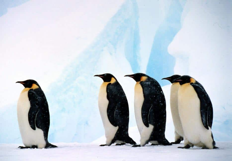 The Emperor Penguin