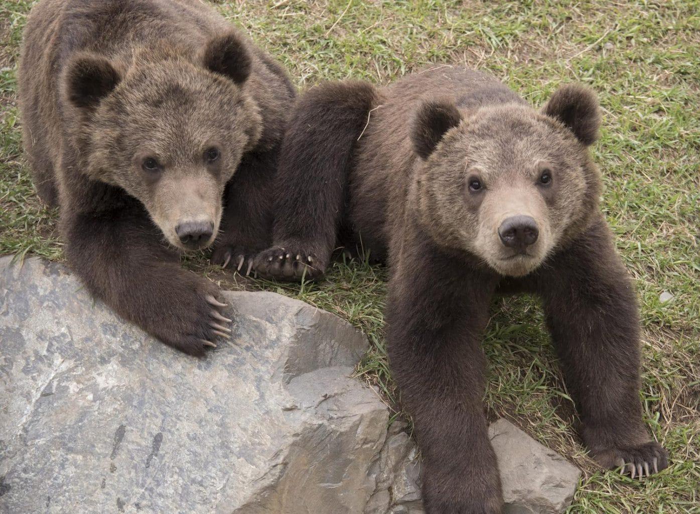 Kodiak Bear Cubs