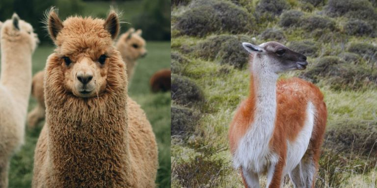 Llamas Vs. Alpacas