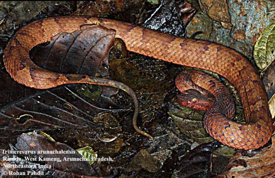 "A  New Species of the Venomous Viper Known as ""Trimeresurus arunachalensis"""