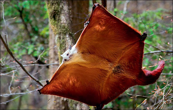 New Species of the Giant Flying Squirrel
