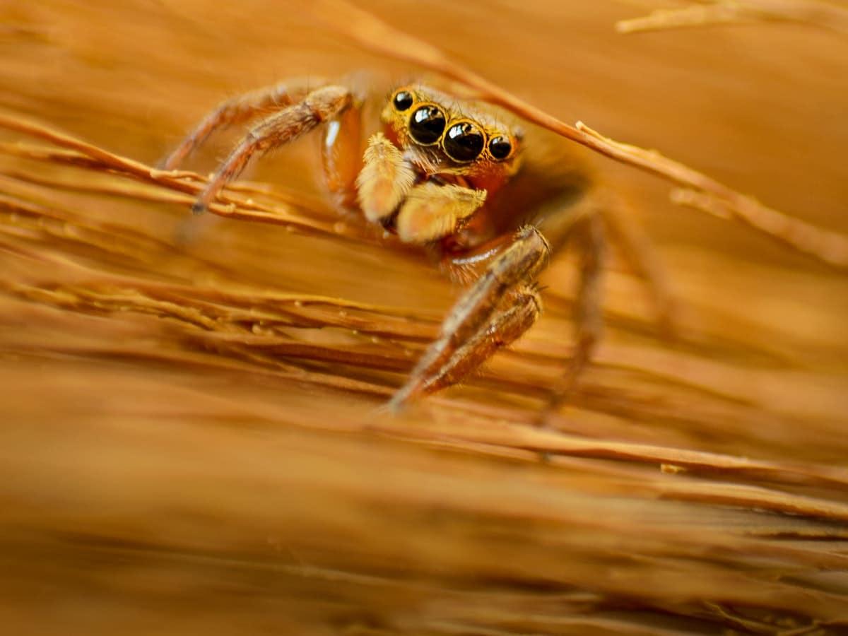 Karakurt Spider