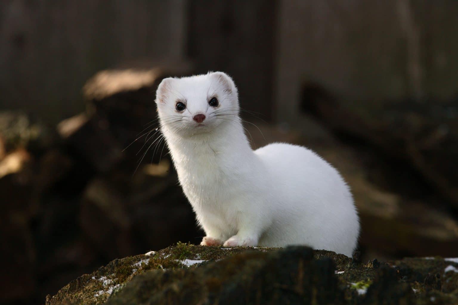 Japanese Weasels