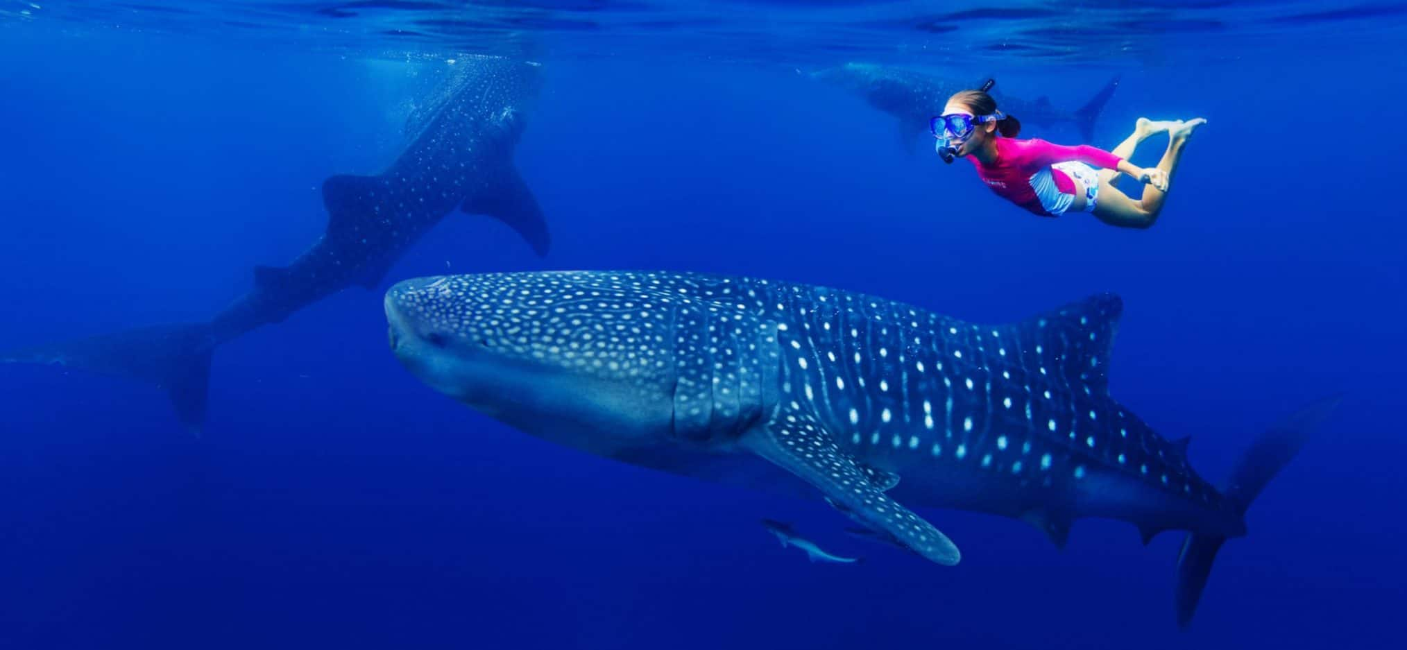 swim with Whale Sharks in Cebu