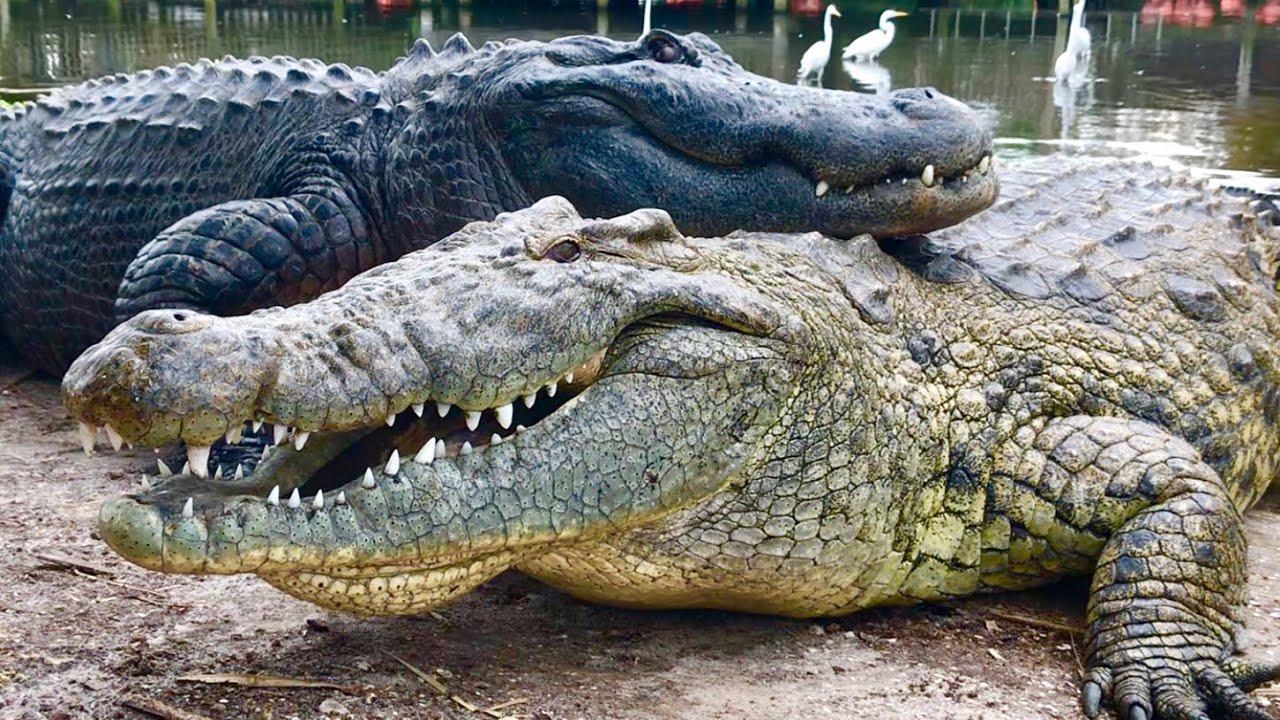 Everglades Croc and Gator Together