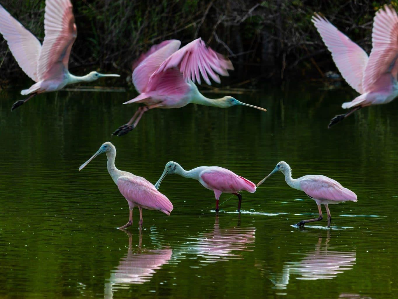 Exotic Birds in the Everglades